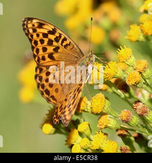 Female Silver-washed Fritillary, (Argynnis paphia) feeding on a yellow flower - Stock Photo