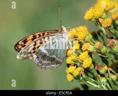 Female Silver-washed Fritillary, (Argynnis paphia) feeding on a yellow flower - Stock Photo