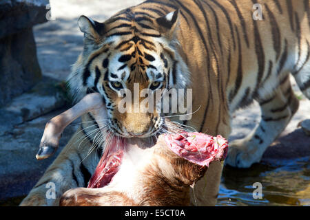 A Siberian Tiger with animal carcass in mouth - Stock Photo