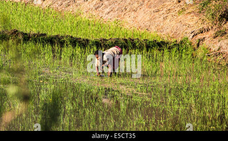 Madagascar, woman works in the Rice fields - Stock Photo