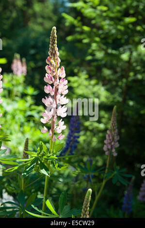 Big-leafed lupin, Lupinus polyphyllus, an invasive species in Switzerland. - Stock Photo
