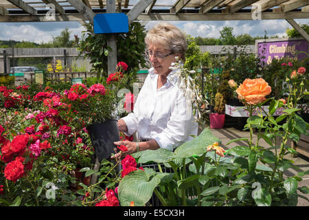 Mesmerizing Older Woman Oap Looking At Roses And Plants In Local Garden Centre  With Fascinating  Older Woman Oap Looking At Roses And Plants In Local Garden Centre On  Summer Day Uk With Comely Jade Garden Talbot Green Also Heavy Duty Garden Netting In Addition Bronze Garden Ornaments And Garden Clinic Bracknell As Well As Dyffryn Gardens National Trust Additionally Restaurants Covent Garden Pre Theatre From Alamycom With   Fascinating Older Woman Oap Looking At Roses And Plants In Local Garden Centre  With Comely  Older Woman Oap Looking At Roses And Plants In Local Garden Centre On  Summer Day Uk And Mesmerizing Jade Garden Talbot Green Also Heavy Duty Garden Netting In Addition Bronze Garden Ornaments From Alamycom