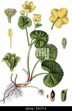 Trollius paluster, Caltha palustris, kingcup, marsh marigold - Stock Photo
