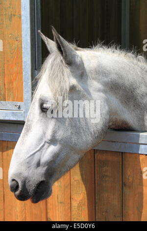 Portrait of a white horse in stable - Stock Photo