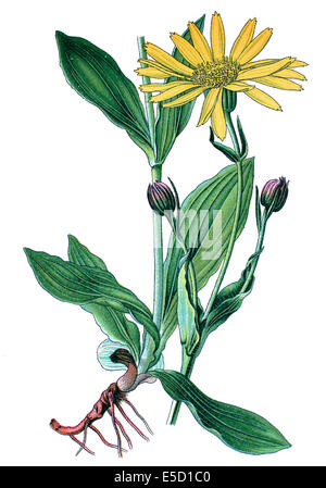 leopard's bane, wolf's bane, mountain tobacco and mountain arnica, Arnica montana - Stock Photo