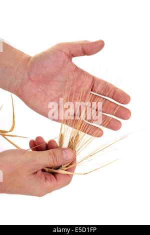 Dried ears of rye in the hands isolated on white background - Stock Photo