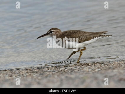 Spotted Sandpiper (Actitis macularia) walking at waters edge
