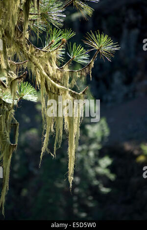 Usnea, also known as Old Man's Beard, growing on branches of a Ponderosa Pine tree along Oregon's Grande Ronde River. - Stock Photo