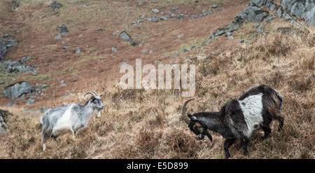 Wild Goats in the Galloway Forest Park in Scotland. - Stock Photo