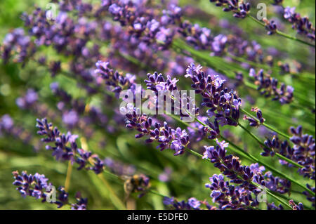 Close-up of blooming lavender flower in a bee friendly garden. Shallow depth of field. - Stock Photo
