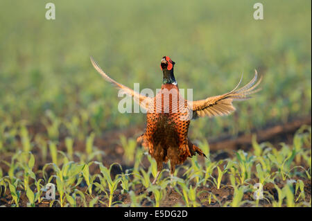 Pheasant (Phasianus colchicus), displaying in a maize field, North Rhine-Westphalia, Germany - Stock Photo