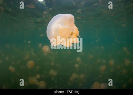Oceania, Palau, Eik Malk, Spotted jellyfish, mastigias papua, in saltwater lake - Stock Photo