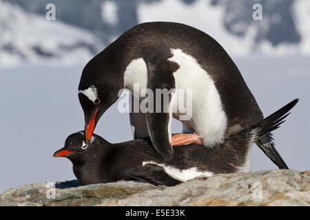 female and male penguin Gentoo during mating - Stock Photo