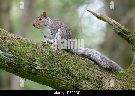 Grey squirrel, Sciurus carolinensis,  single mammal on branch, Warwickshire, May 2014 - Stock Photo