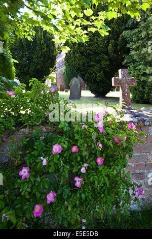 Wild dog rose (Rosa Canina) flowering on the churchyard wall at Butlers Marston, Warwickshire UK - Stock Photo