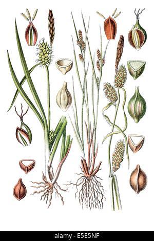 left: species of sedge, Gelbsegge, Carex oederi, right: species of sedge, Carex extensa - Stock Photo