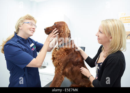 Pets at Home Trafford store, vet looking at a large dog of Irish Setter Dog Breed - Stock Photo