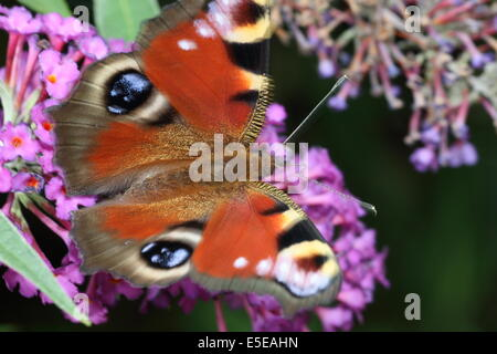 European Peacock (Inachis io) butterfly on butterfly bush (buddleja) - Stock Photo