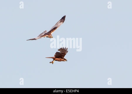 Western Marsh Harriers (Circus aeruginosus), male and female in flight, Texel, West Frisian Islands, province of - Stock Photo