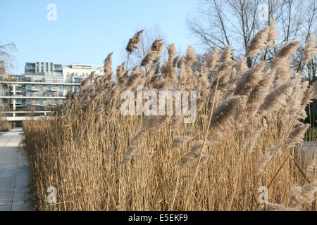 France, paris 12e, parc de Bercy, roseaux, - Stock Photo
