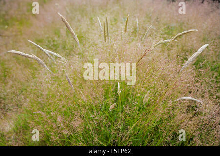 Agrostis capillaris or tenuis, Common Bent, Colonial bent or  Browntop grass with Yorkshire Fog, Holcus lanatus, - Stock Photo