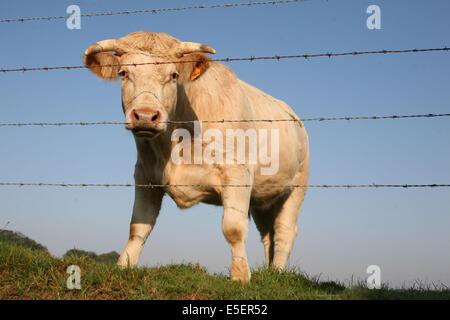 France, Normandie, seine maritime, pays de caux, allouville bellefosse, vache, boeuf, cloture, barbeles, - Stock Photo