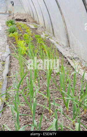 Allium sativum, Young Garlic 'Solent Wight and 'Early Purple Wight' growing with salad crops in a polytunnel, Wales, - Stock Photo