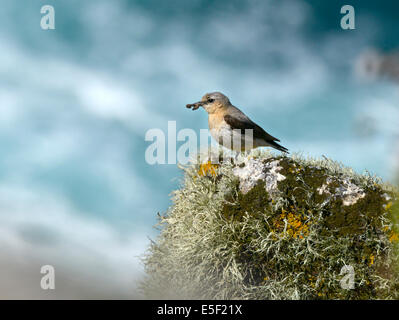 Northern Wheatear - Oenanthe oenanthe - female. - Stock Photo