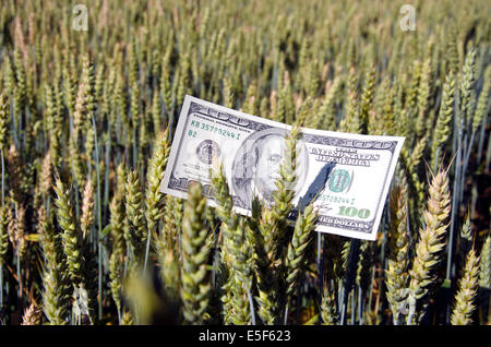 one hundred dollar banknote on wheat ear in field - agriculture business concept - Stock Photo
