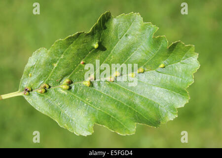 Galls Beside Midrib Of Alder Leaf Alnus glutinosa Caused By The Gall Mite Species Eriophyes inangulis - Stock Photo