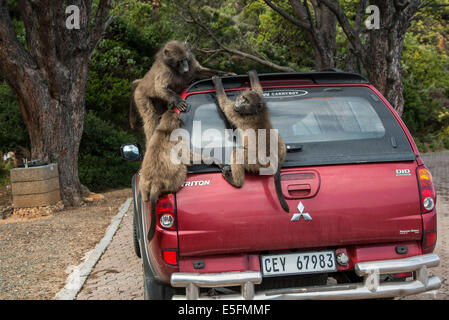 Chacma Baboons (Papio ursinus) playing on a parked car, Clarence Drive, Gordon's Bay, Western Cape, South Africa - Stock Photo