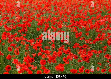 Poppy field in full bloom, Thuringia, Germany