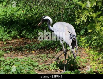 Demoiselle crane (Anthropoides virgo) - Stock Photo