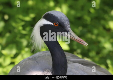 Portrait close-up of a Demoiselle crane (Anthropoides virgo) - Stock Photo
