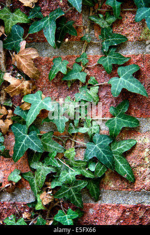 Exterior brick wall covered in ivy - Stock Photo