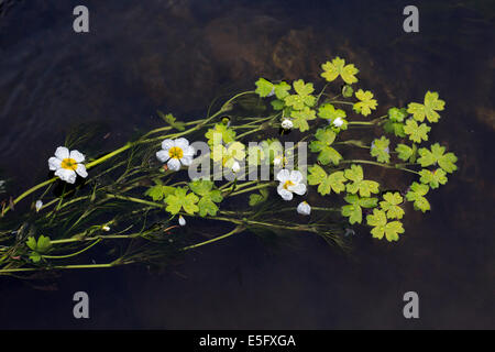 Common water-crowfoot / white water-crowfoot (Ranunculus aquatilis) floating in mats on the surface of stream - Stock Photo
