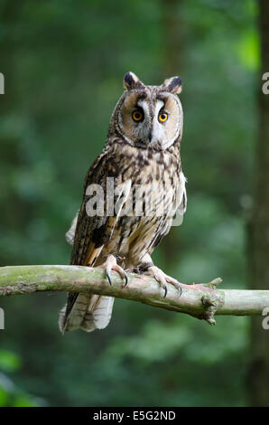 Long eared owl perched on branch - Stock Photo