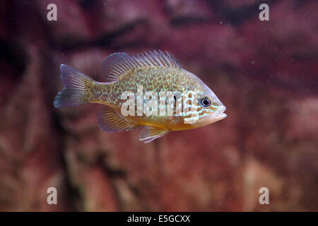 A pumpkinseed sunfish, Lepomis gibbosus, a freshwater fish living in warm lakes - Stock Photo