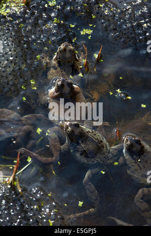 Mating frogs and frog spawn in a pond in an English garden - Stock Photo