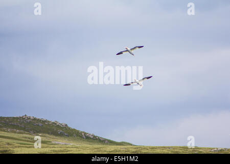 Pair of Gannets flying past Pabbay - Stock Photo