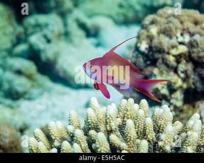 Male Anthias (Pseudanthias squamipinnis) hovering over horn corals in the Red Sea - Stock Photo