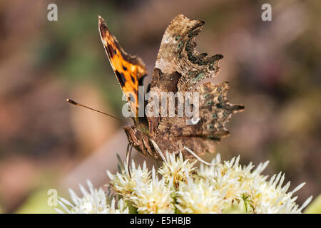Comma butterfly (Polygonia c-album), feeding on Alpine Butterbur flowers (Petasites paradoxus), South Wales, United - Stock Photo