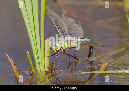 Emperor Dragonfly (Anax imperator), female, ovipositing in water, South Wales, United Kingdom - Stock Photo