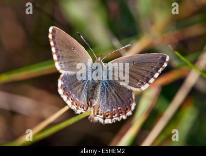 Chalkhill Blue butterfly (female). Denbies Hillside, Ranmore Common, Surrey, England. - Stock Photo