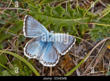 Chalkhill Blue butterfly. Denbies Hillside, Ranmore Common, Surrey, England. - Stock Photo