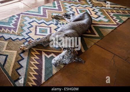 Great Dane or or German Mastiff lying on geometric patterned rug - Stock Photo