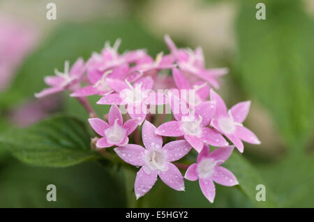 A bunch of small pink and white flowers pune maharashtra india a bunch of small pink and white flowers pune maharashtra india stock mightylinksfo