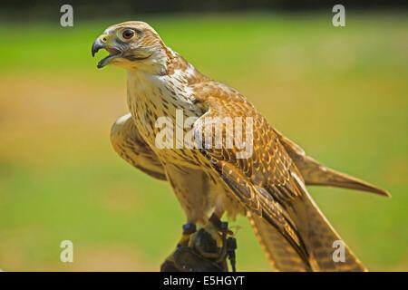 Lanner Falcon (Falco biarmicus) in falconry - Stock Photo