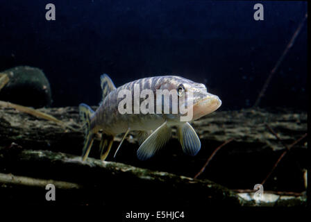 Northern Pike (Esox lucius), captive, France - Stock Photo