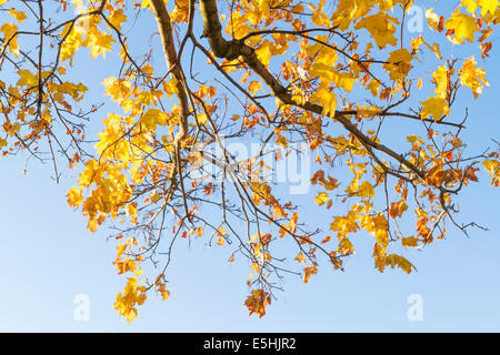 Underneath the branches and leaves of a Norway Maple {Acer platanoides) tree in Autumn, England, UK - Stock Photo